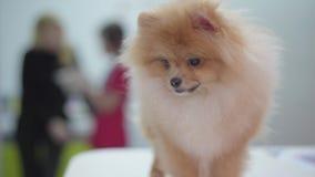 Spitz pomeranian do cão macio pequeno na clínica veterinária que olha em torno do fim acima Duas figuras de mulheres de fala no filme