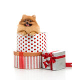 Spitz, Pomeranian dog in gift-box Stock Photography