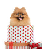 Spitz, Pomeranian dog in gift-box Royalty Free Stock Image