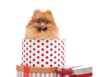 Spitz, Pomeranian dog in gift-box Royalty Free Stock Images