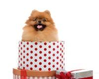 Spitz, Pomeranian dog in gift-box. Studio shot on white background Royalty Free Stock Image