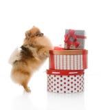 Spitz, Pomeranian dog with gift-boxes Stock Image