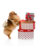 Spitz, Pomeranian dog with gift-boxes Royalty Free Stock Images