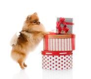 Spitz, Pomeranian dog with gift-boxes Royalty Free Stock Photos