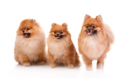 Spitz, Pomeranian dog Royalty Free Stock Photography