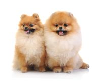 Spitz, Pomeranian dog Stock Photography