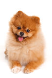 Spitz, Pomeranian dog on white background, studio shot stock photo
