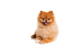 Spitz, Pomeranian dog on white background, studio shot stock image