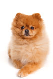 Spitz, Pomeranian dog on white background, studio shot stock images