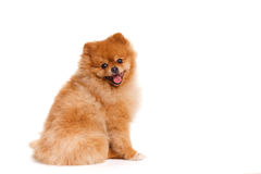 Spitz, Pomeranian dog on white background, studio shot Stock Photography