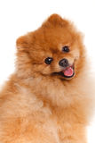 Spitz, Pomeranian dog on white background, studio shot stock photos