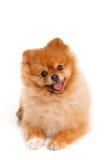 Spitz Pomeranian hund på vit bakgrund, studioskott Fotografering för Bildbyråer