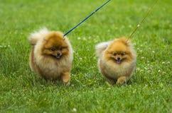 Spitz . Pomeranian run in grass field, Dog running Royalty Free Stock Photo