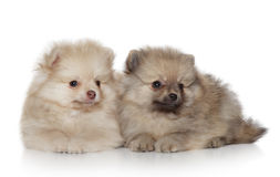 Spitz puppies (1 month) on white background Stock Image