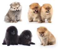 Spitz puppies royalty free stock photo