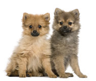 Spitz puppies, 3 months old, sitting Royalty Free Stock Photo