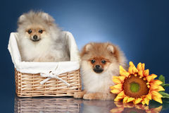 Spitz Puppies (5 months) in basket Royalty Free Stock Image