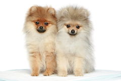 Spitz Puppies (5 months) on a white background Royalty Free Stock Photo