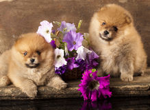Spitz puppies and flowers Stock Image