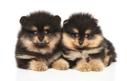 Spitz puppies lying on a white background stock image