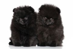 Spitz puppies Royalty Free Stock Photography