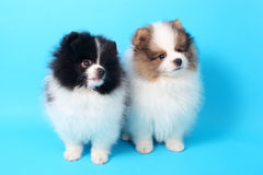 Spitz puppies Stock Images