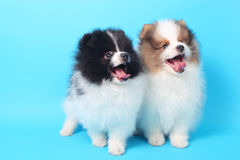 Spitz puppies Royalty Free Stock Photos