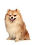 Spitz puppy Stock Photo