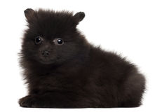 Spitz puppy, 2 months old Stock Photography
