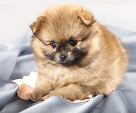Spitz puppy Royalty Free Stock Photography