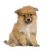 Spitz puppy Stock Photos