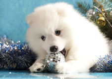 Spitz puppy Stock Images