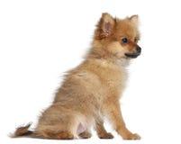 Spitz puppy, 3 months old, sitting Stock Photo