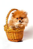 Spitz puppy in the basket. Little red spitz puppy in the basket isolated on white background Royalty Free Stock Image