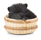 Spitz puppy in a basket Royalty Free Stock Images