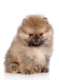 Spitz puppy close-up portrait Stock Photos