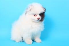Spitz puppy Royalty Free Stock Photos