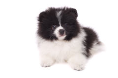 Spitz puppy Royalty Free Stock Image