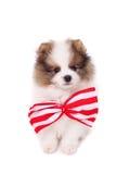 Spitz puppy Stock Image