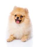 Spitz puppy die vooraan liggen. royalty-vrije stock fotografie