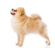 Spitz puppy die zich in profiel bevinden. royalty-vrije stock afbeeldingen