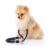 Spitz puppy dog with a stethoscope on his neck. Royalty Free Stock Photography