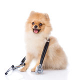 Spitz puppy dog with a stethoscope on his neck. Stock Photography