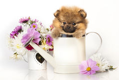 Spitz puppy and flowers Royalty Free Stock Photos