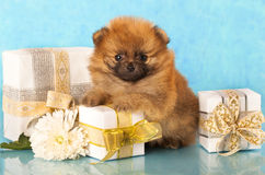 Spitz puppy and  gift Royalty Free Stock Image
