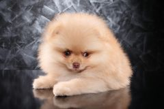 Spitz puppy on gray background. Close-up portrait of a Spitz puppy on gray background. Baby animal theme royalty free stock images
