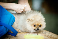 Spitz puppy grooping Royalty Free Stock Photo