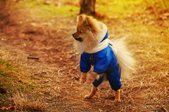 Spitz, puppy, hond blijft op achterpoten en kijkt aan de linkerkant en kleedt zich in een blauwe sweater met wit Stock Fotografie