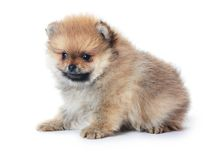 Spitz puppy isolated on white Royalty Free Stock Images