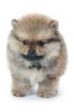 Spitz puppy isolated on white background Royalty Free Stock Photos